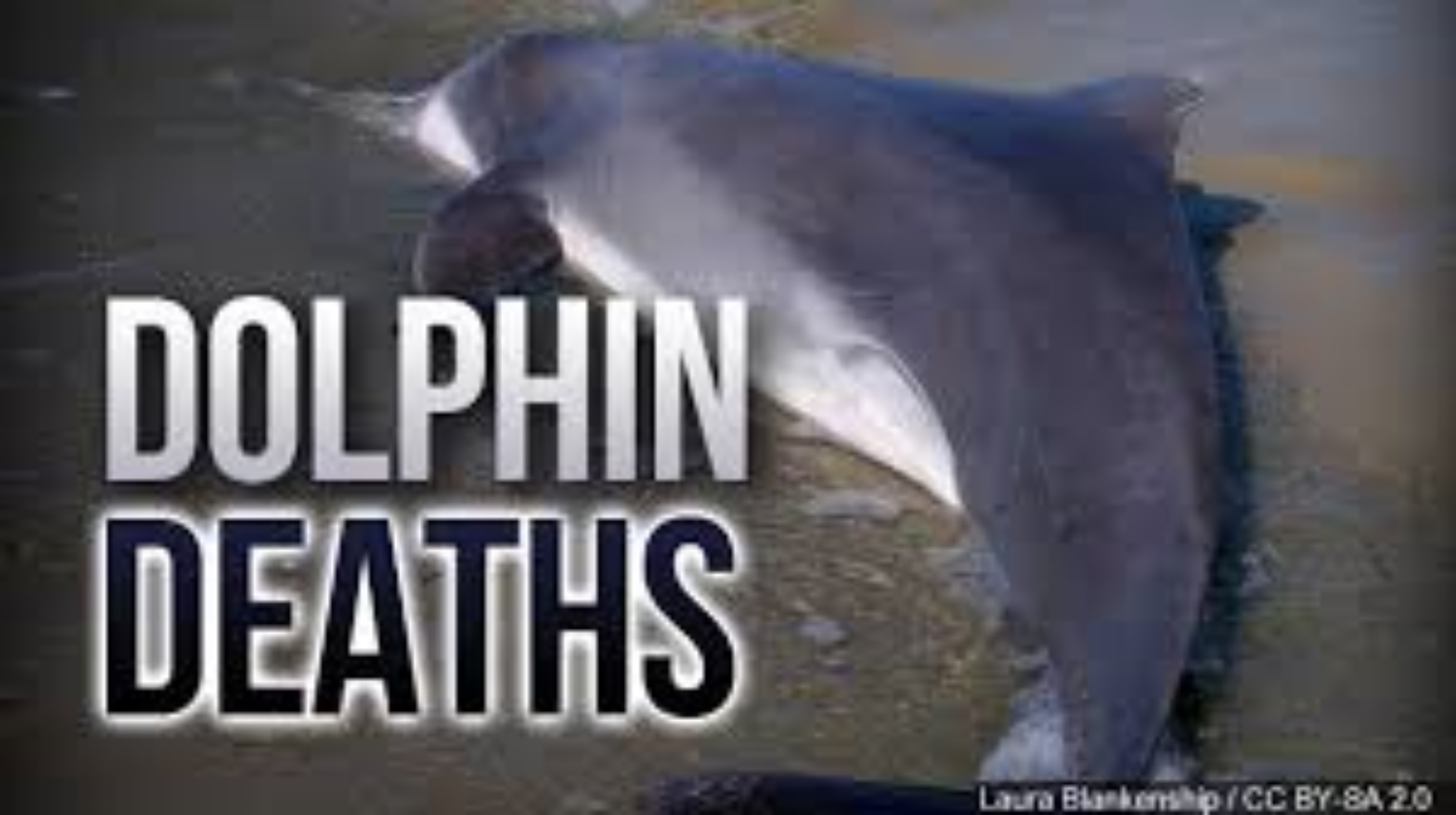 /Files/799ecefe-1c23-43e5-90ca-339f640f9d91/DolphinDeaths.jpg